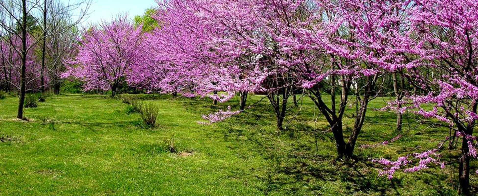 Photo of tree in bloom, covered with pink flowers